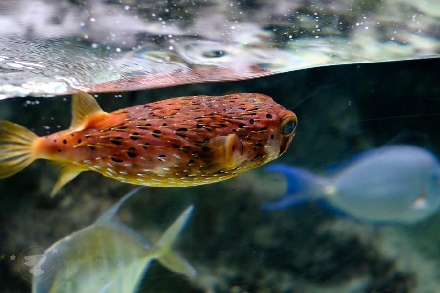 puffer fish - ting fen zheng
