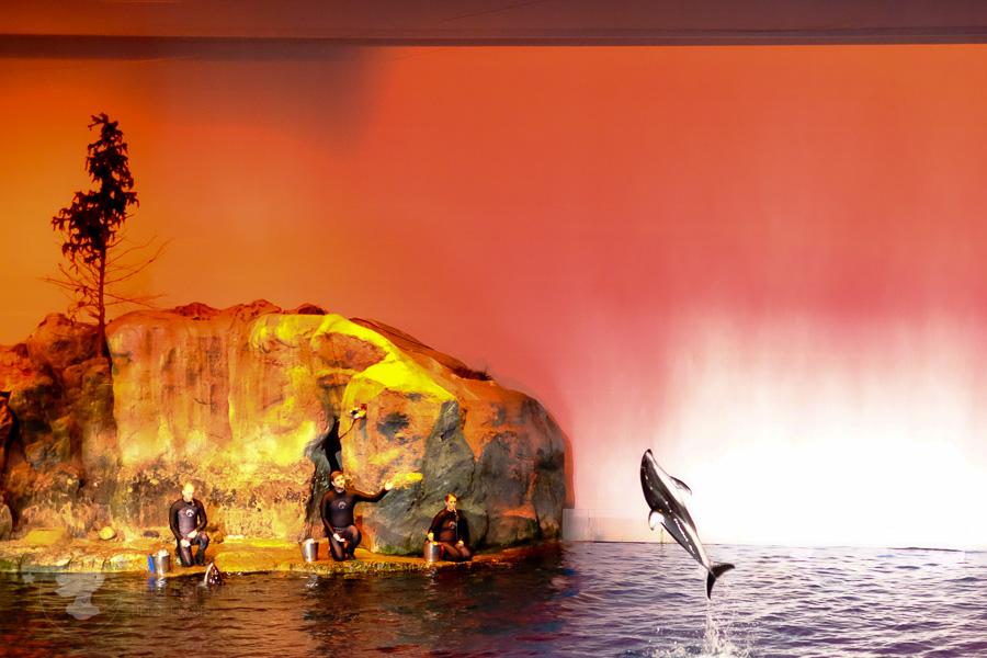 dolphin show shedd - ting fen zheng