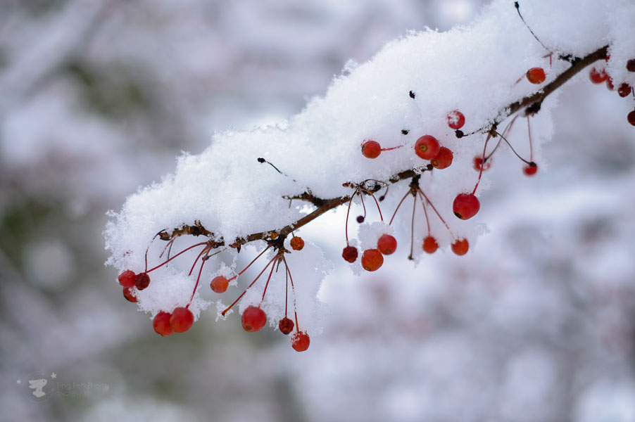 snow on tree branch - ting fen zheng