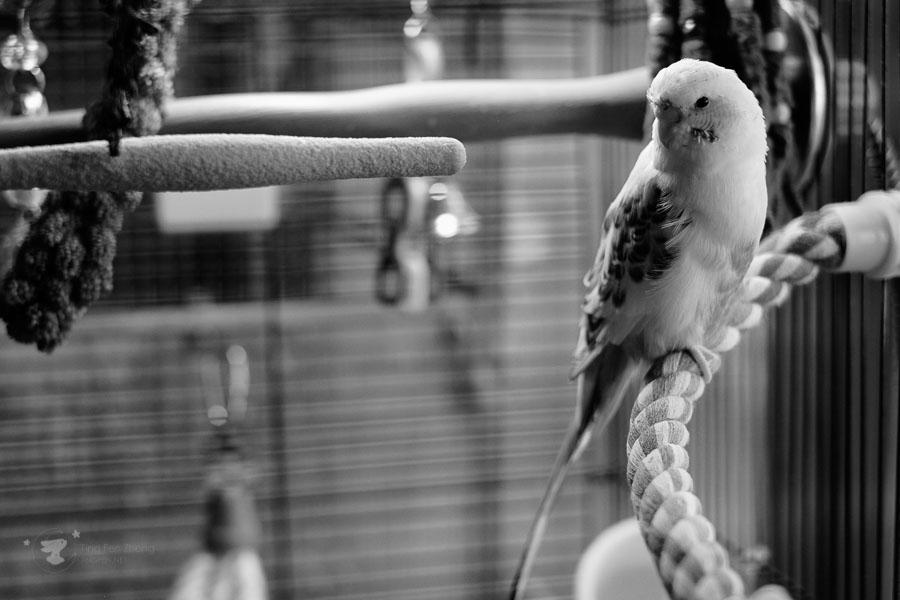 parrot black & white - ting fen zheng