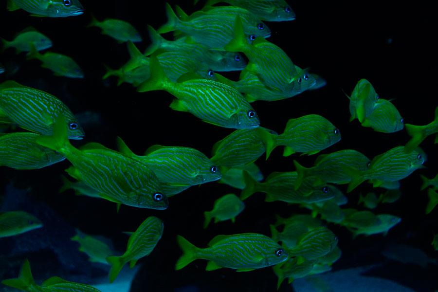 green fishes - ting fen zheng