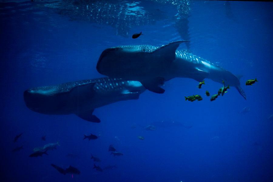 whale sharks - ting fen zheng