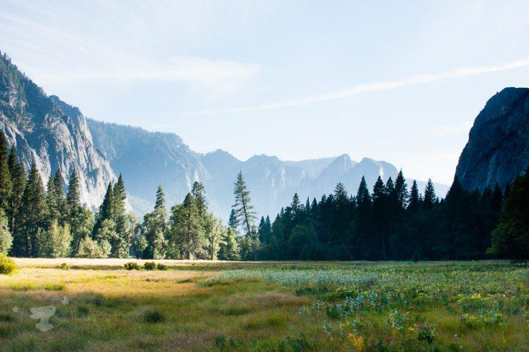 Yosemite trees - ting fen zheng