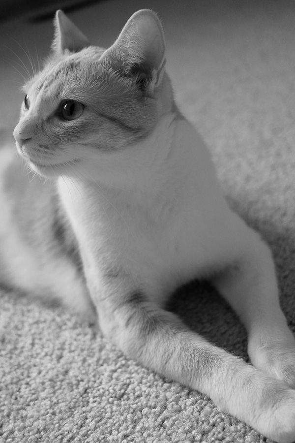 cat black white - ting fen zheng