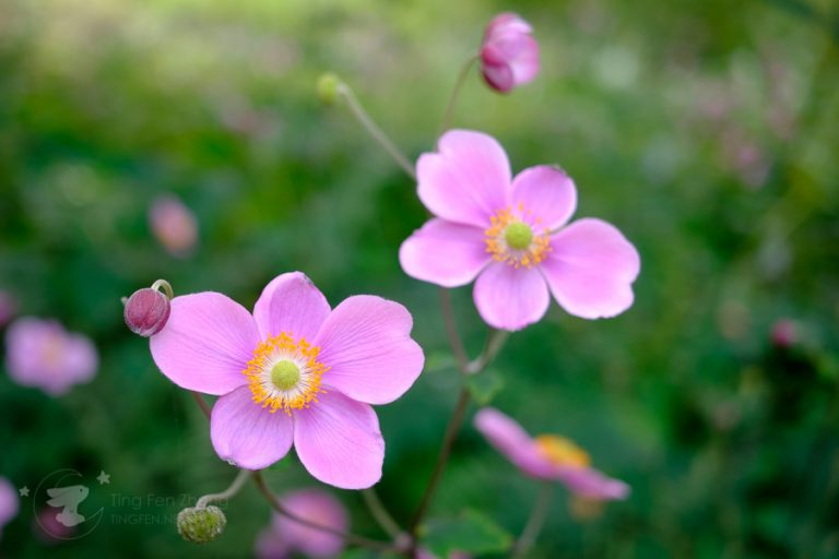 pink flowers - ting fen zheng