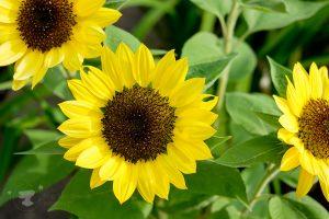 sunflowers - ting fen zheng