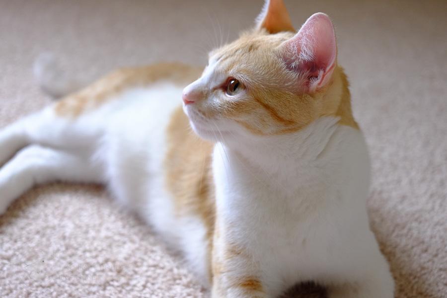 mimi cat sideview - ting fen zheng