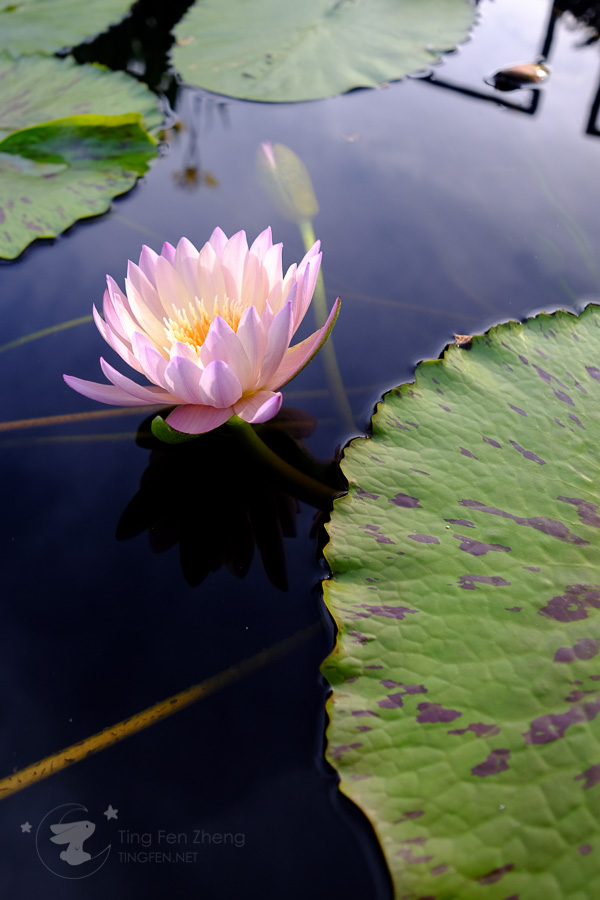 lotus on water - ting fen zheng