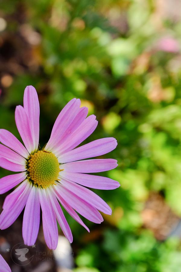 pink flower - ting fen zheng