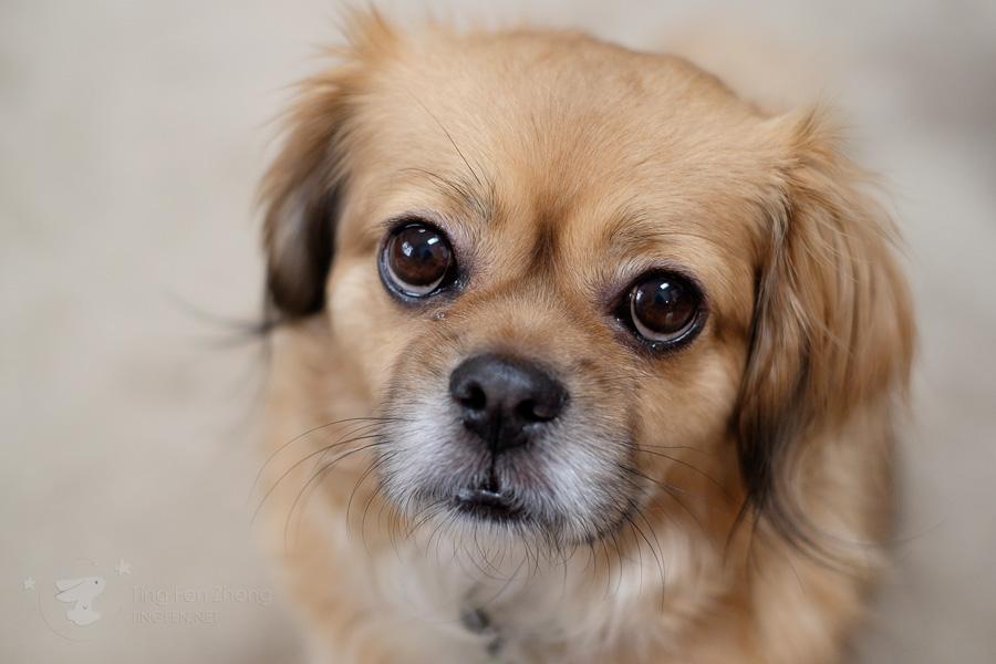 dog - ting fen zheng