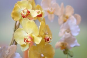 orchid flowers - ting fen zheng