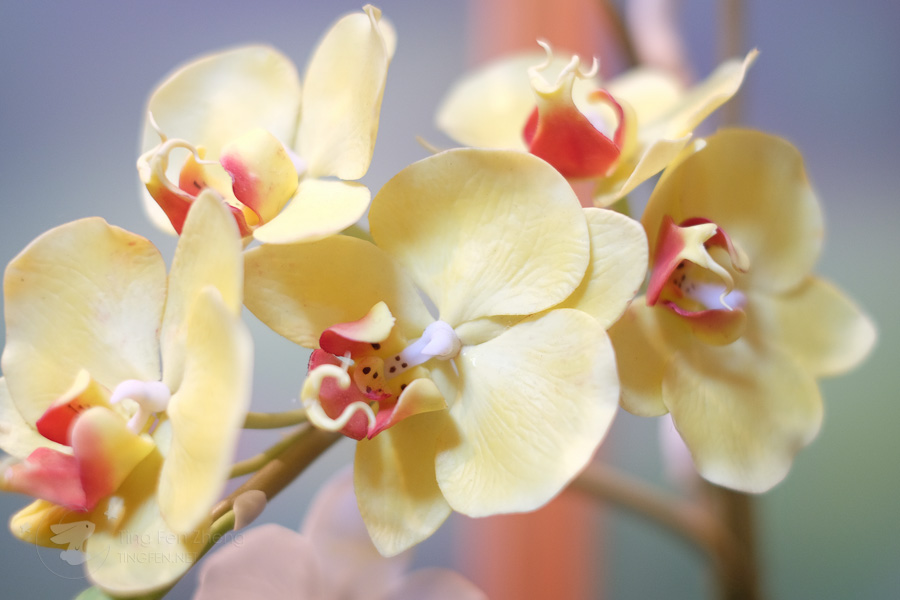 light yellow orchids - ting fen zheng