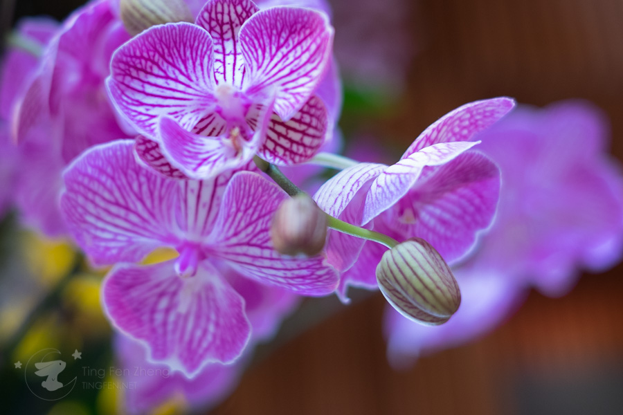 purple orchid flower - ting fen zheng