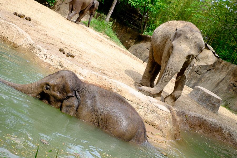 two elephants - ting fen zheng