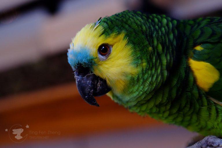parrot - ting fen zheng