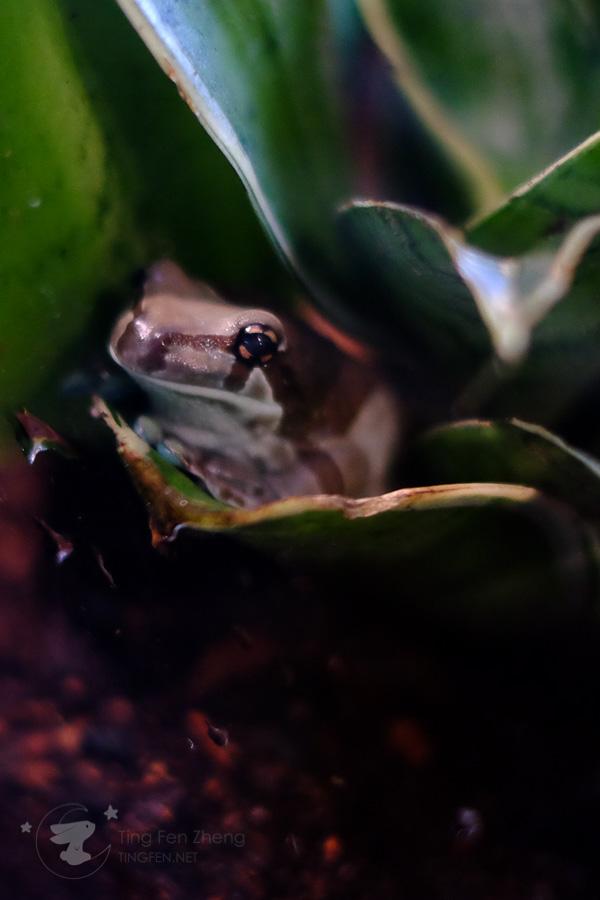 frog - ting fen zheng
