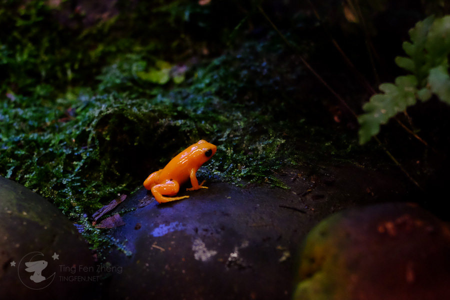 orange frog - ting fen zheng
