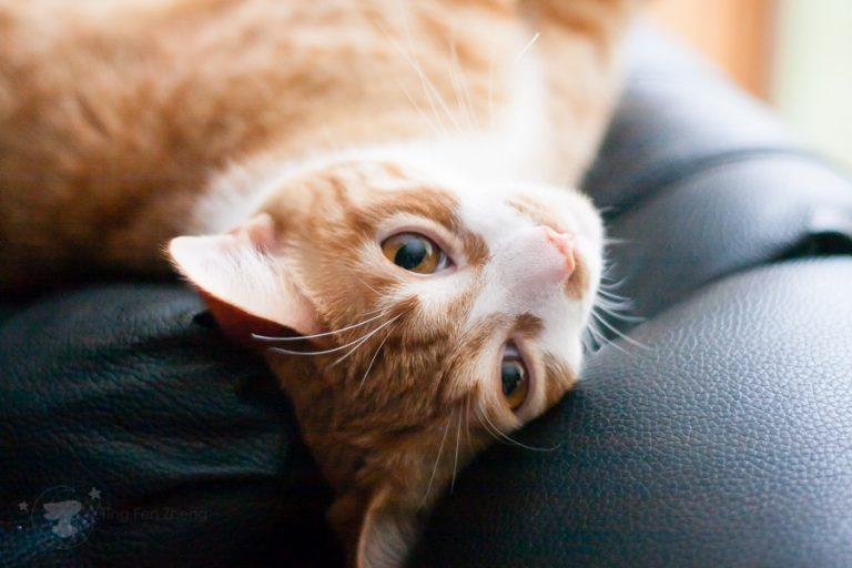ting fen zheng - cat head tilting
